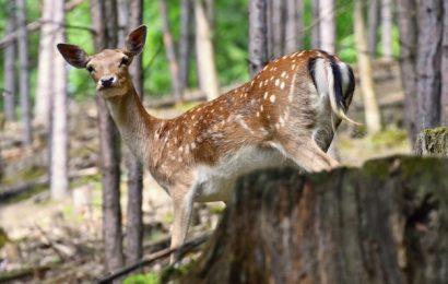 Hjort på vildtkamera