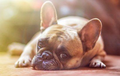 Sådan vælger du den rette hundeseng til din hund